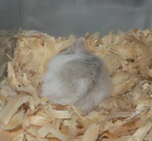 Sleepy_hamster